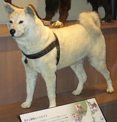 忠犬ハチ公-国立科学博物館剥製