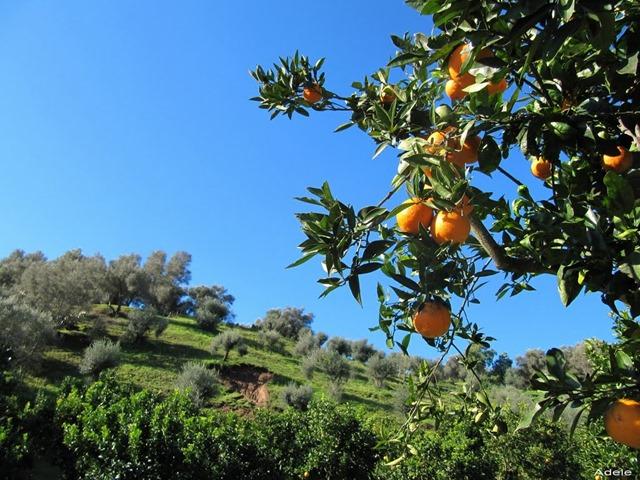 aranci e olivi