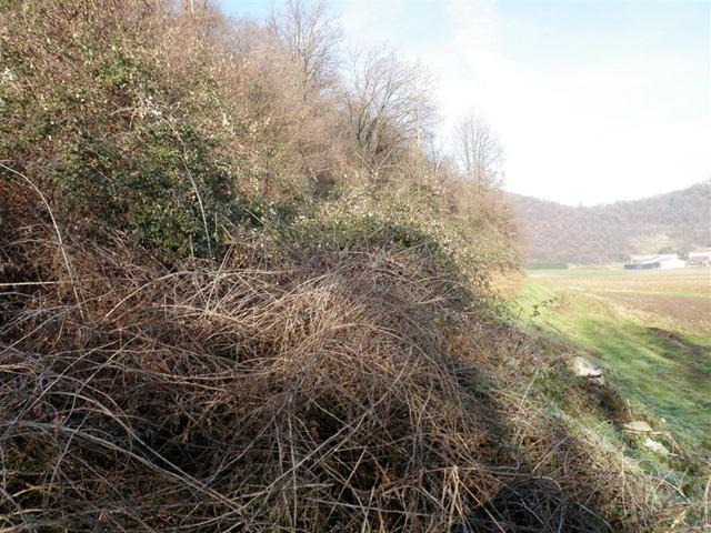 Gli-arbusti-di-Spinaroli-in-località-Le-Scure-a-Costabissara3